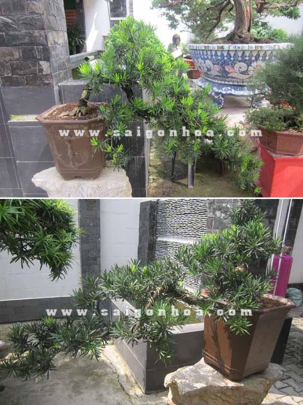 cap cay van nien tung bonsai dang bay