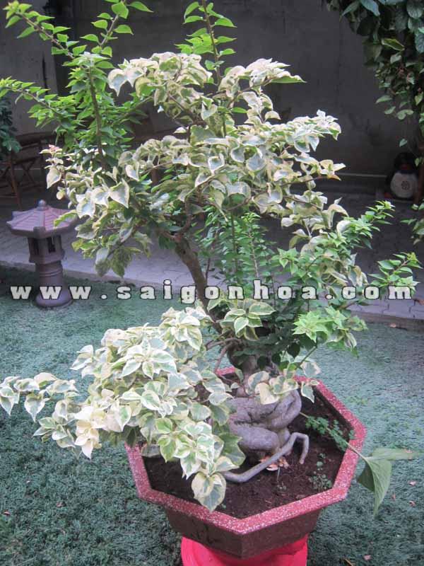 cay bong giay bonsai trang tri