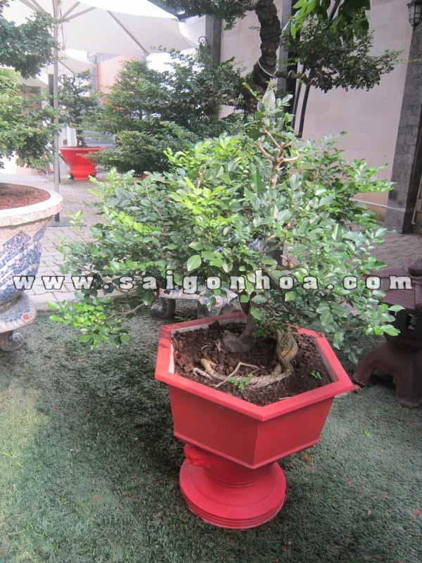 cay nguyet que bonsai cao 70 cm