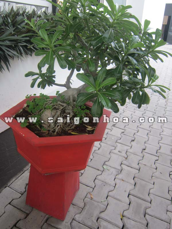 cay su thai bonsai