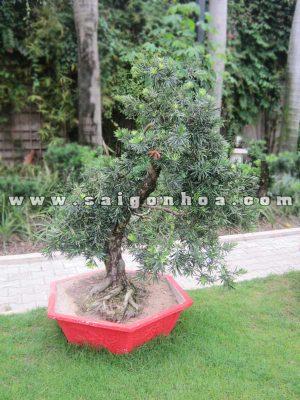 cay van nien tung bonsai cao 1.1 - 1.2 m
