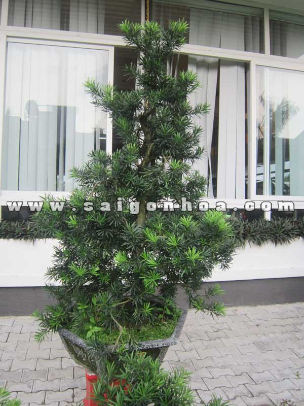 cay van nien tung bonsai cao 1.3 - 1.4 m trang tri