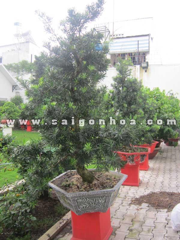cay van nien tung bonsai cao 1.3 - 1.4 m