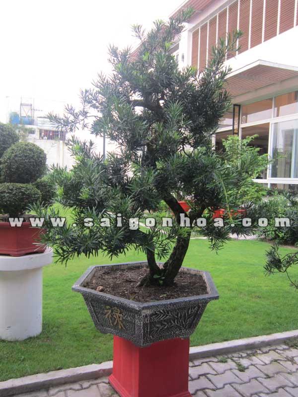 cay van nien tung bonsai cao 1.5 - 1.6 m trang tri