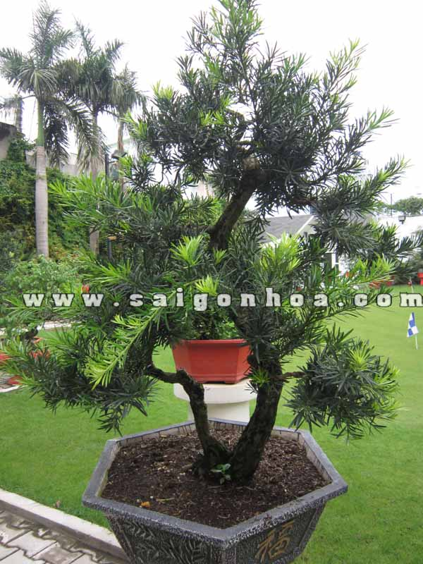 cay van nien tung bonsai cao 1.5 - 1.6 m