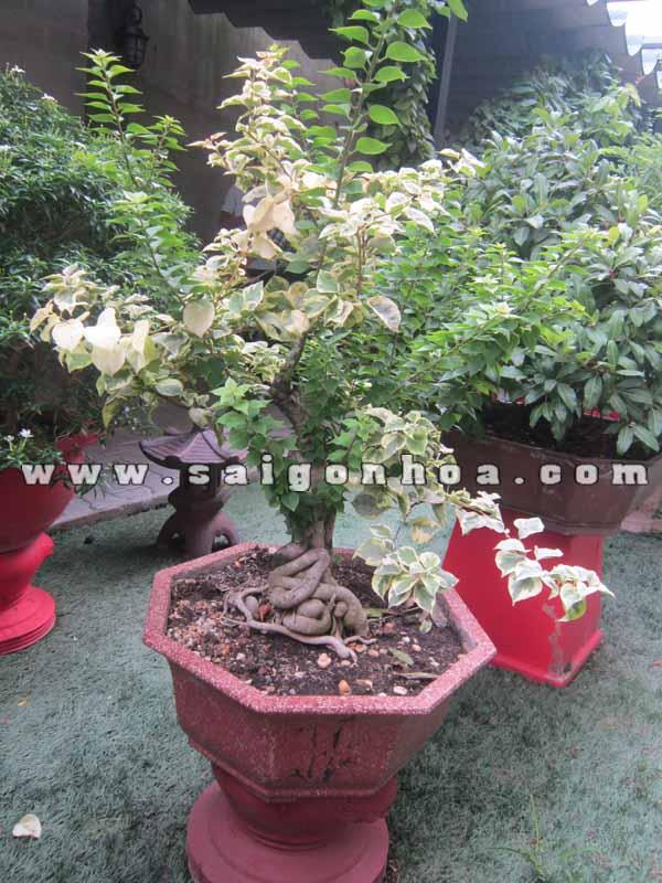 chau cay bong giay bonsai