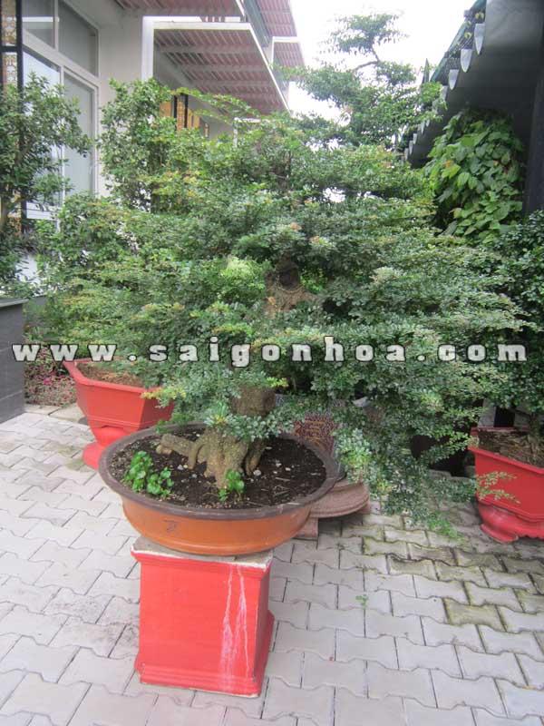 chau cay can thang bonsai cao 1 m trang tri