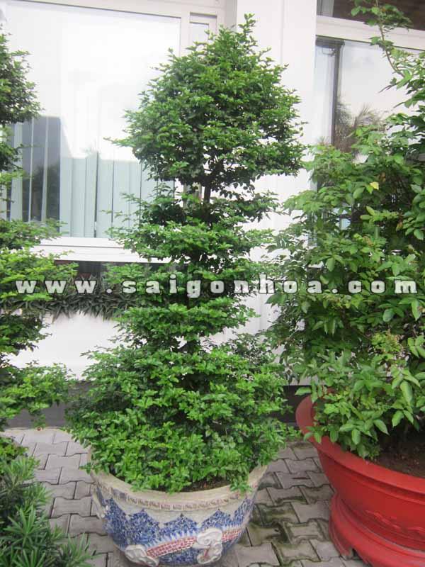 chau cay kim quyt bonsai cao 1.4 m