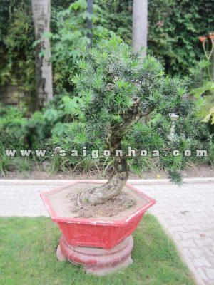 chau cay van nien tung bonsai cao 1.1 - 1.2 m