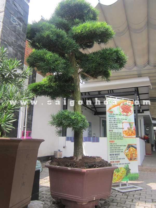 chau cay van nien tung bonsai cao 2.8 - 3 m trang tri