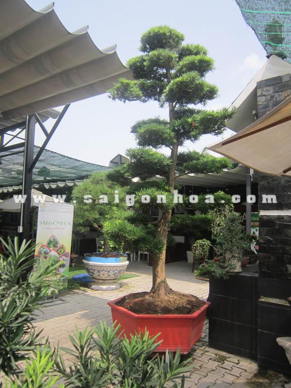 chau cay van nien tung bonsai cao 2.8 - 3 m