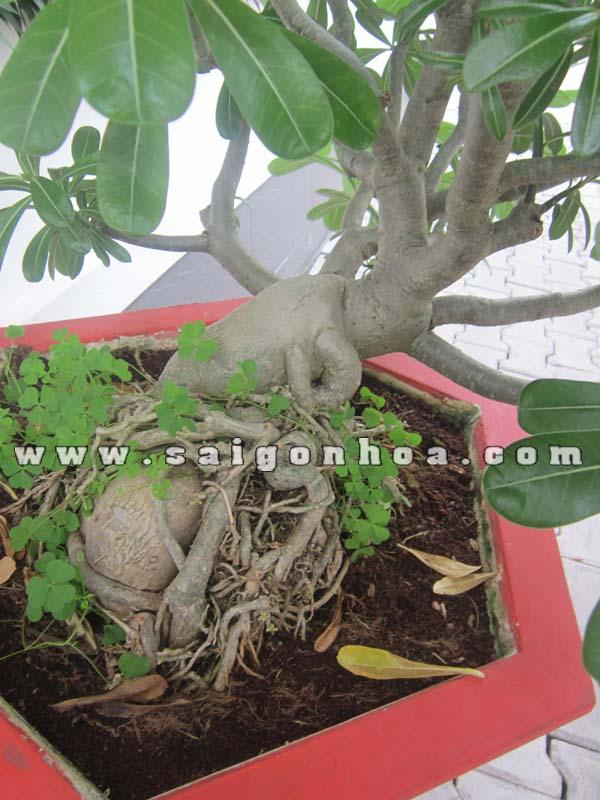 goc cay su thai bonsai