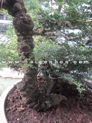 goc than cay can thang bonsai