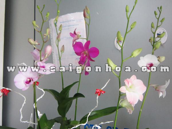 hoa lan dendrobium trong tieu canh may man