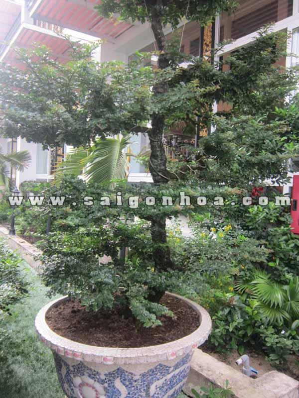tan la cay can thang bonsai