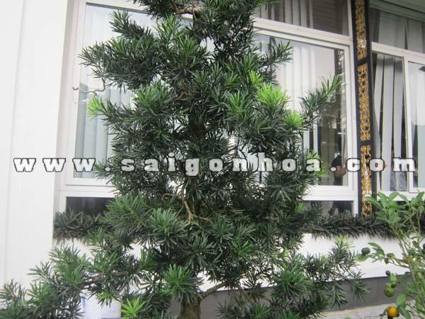 tan la cay van nien tung bonsai cao 1.3 - 1.4 m