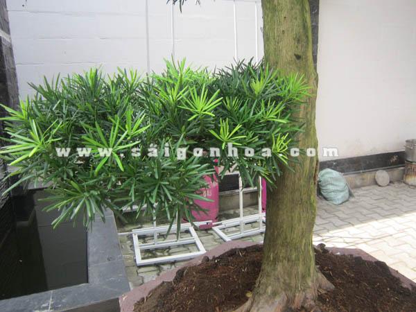 tan la cay van nien tung bonsai cao 2.8 - 3 m