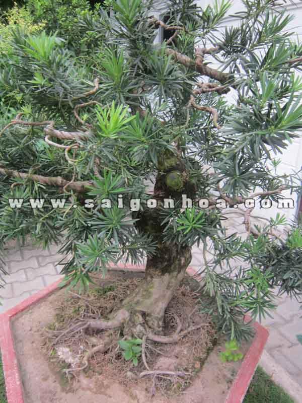 than canh goc cay van nien tung bonsai cao 1 m