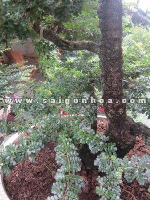 than goc cay can thang bonsai