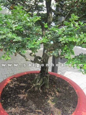 than goc cay kim quyt bonsai 1