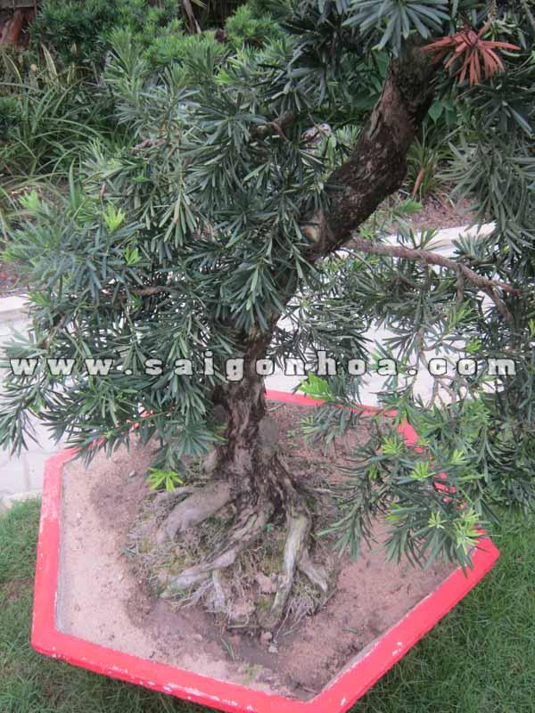 than goc cay van nien tung bonsai cao 1.1 - 1.2 m