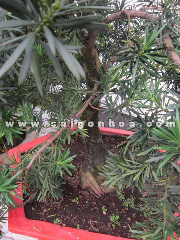 than goc cay van nien tung bonsai cao 1.3 - 1.4 m