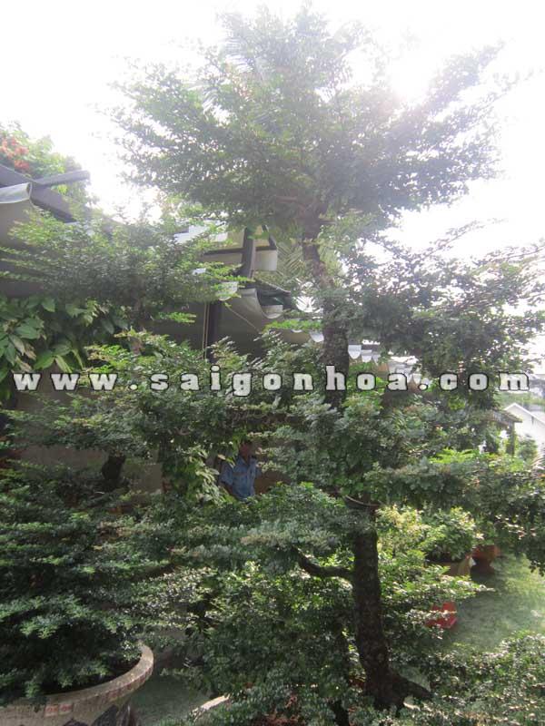 than tan tren ngon cay can thang bonsai