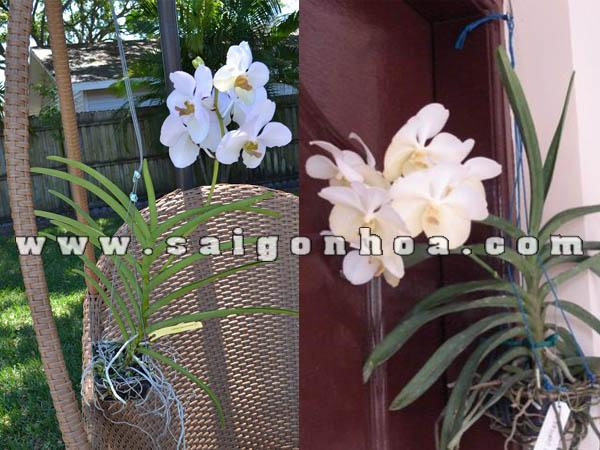 hoa lan vanda trang treo trang tri