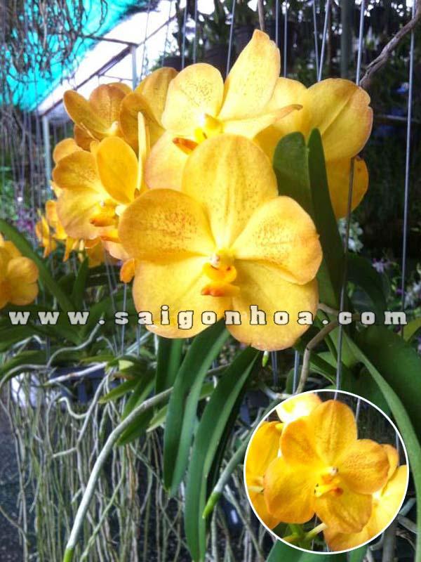 hoa lan vanda vang