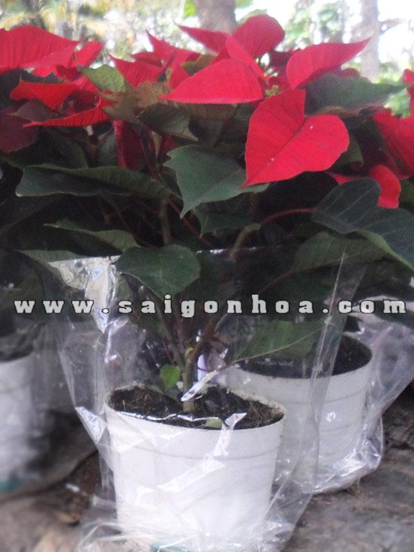 hoa trang nguyen chau nhua loai lon