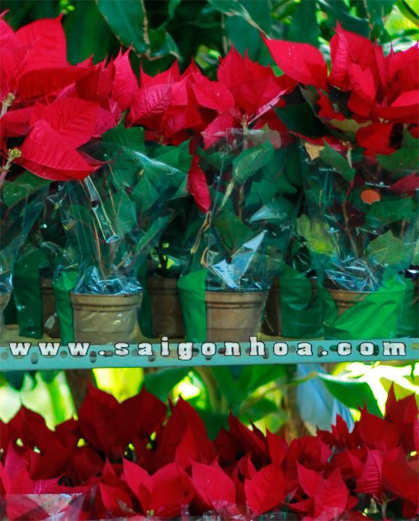 hoa trang nguyen chau nhua loai nho vuon sai gon hoa