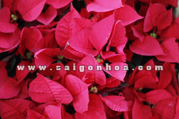 la bac hoa trang nguyen