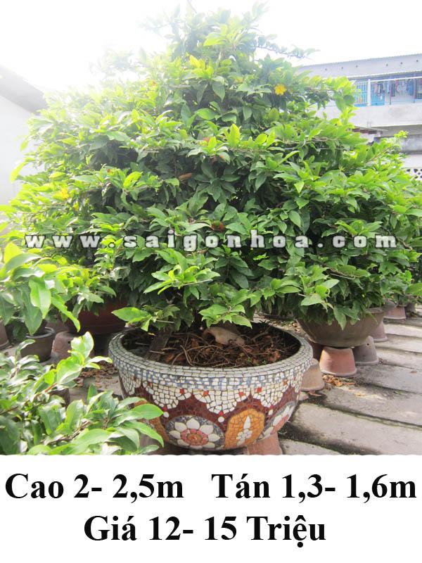 mai bonsai 025m