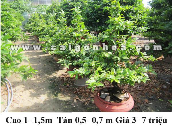 mai bonsai 1m
