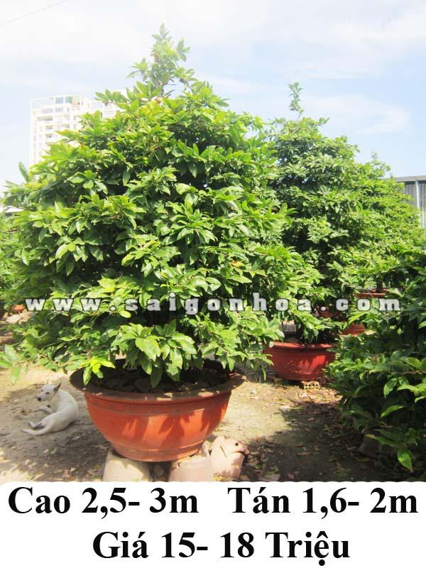 mai bonsai 3m