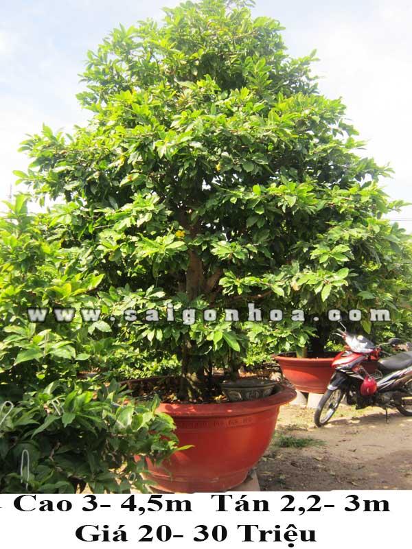 mai bonsai 4m