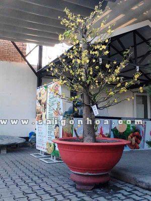 Cây Hoa Mai Tết 2.8 m