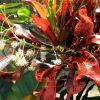 Hoa của cây cô tòng