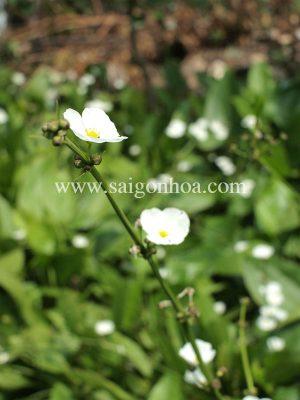Hoa thủy cúc trắng tinh khôi