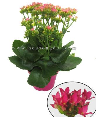 Hoa Song Doi Don Mau Hong