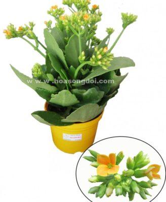 Hoa Song Doi Don Mau Vang E1440052492112