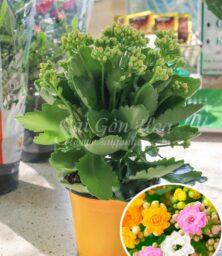Hoa Song Doi Kep