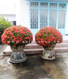 Cay Trang Do Bonsai 1