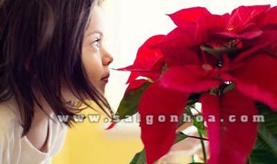 Poinsettias Hoa Trang Nguyen