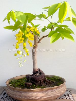 bo cap vang bonsai