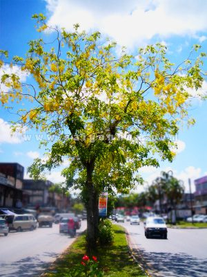 cây bọ cạp vàng - cây công trình