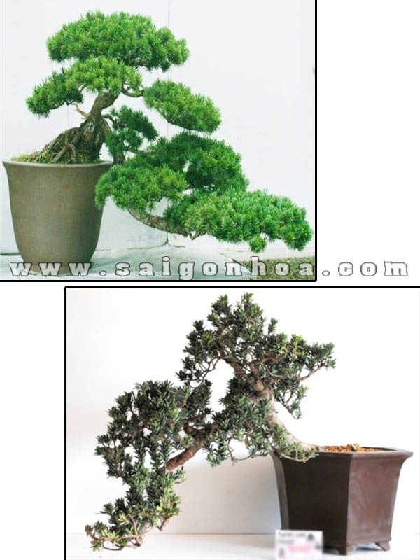 bonsai cay van nien tung