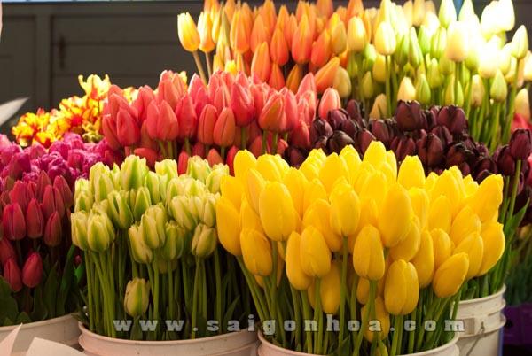 cac loai hoa tulip dep