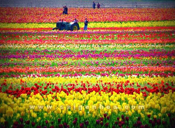canh dong hoa tulip cac mau
