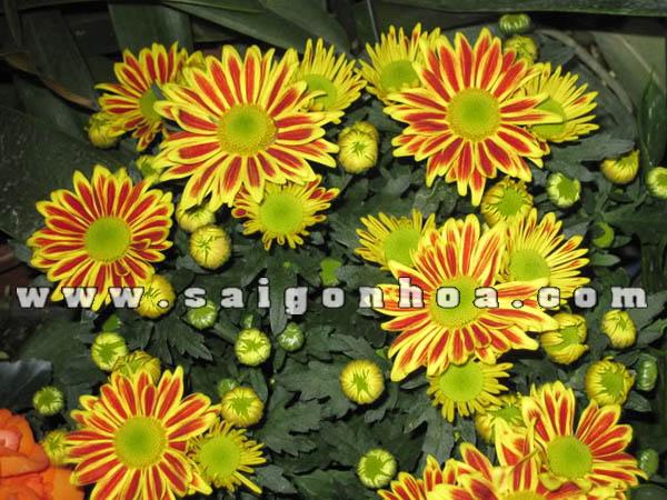 canh hoa cuc vang cam